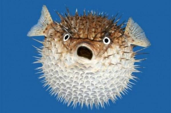 puffer-fish_2.jpg